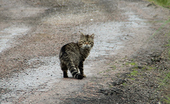 Highland Wild Cat