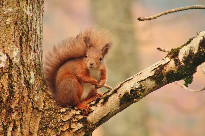 Working alongside Trees for Life to bring red squirrels to Morvern