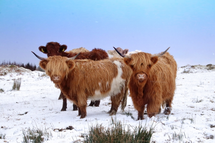 Highlanders in the snow