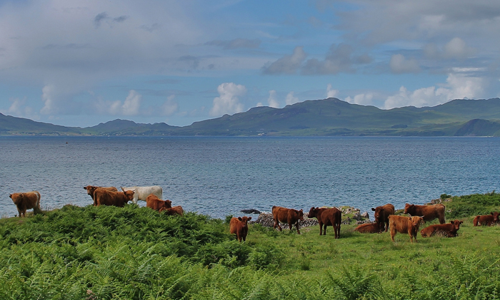Drimnin Estate Cattle