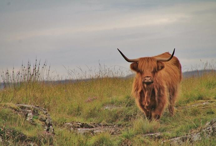 Drimnin Highlander