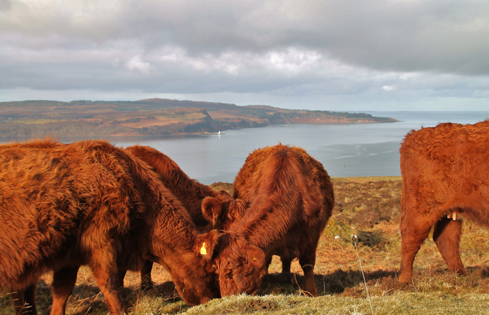 Drimnin Cattle