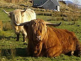 Livestock and produce drimnin estate the luing cow was originally created in 1947 by crossing traditional highland cows publicscrutiny Images