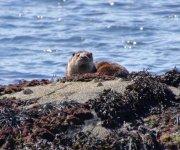 Drimnin Otter