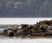 Loch Sunart Seals - August