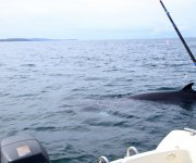Close encounter with a minke Whale Sound of Mull