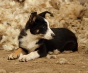 Badger the Sheepdog puppy