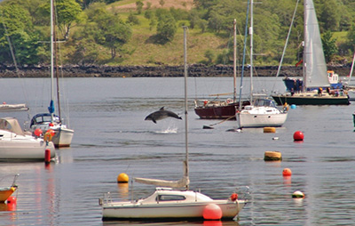 Tobermory Dolphins